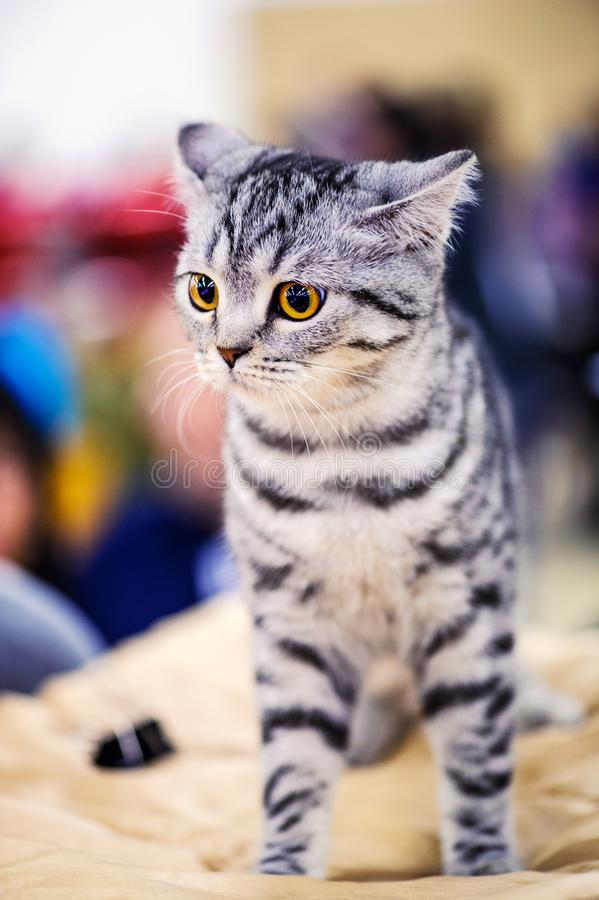 美丽的猫画象  库存图片