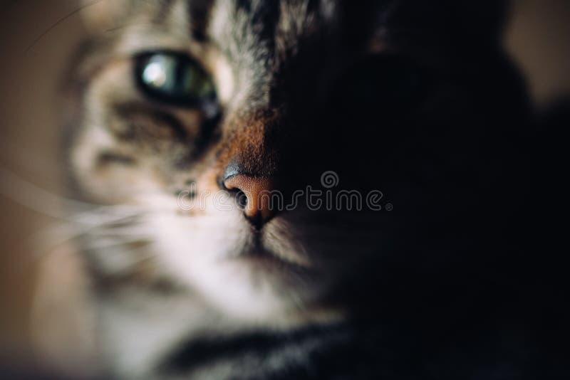 美丽的猫纵向 接近的观点的欧洲shorthair猫 图库摄影