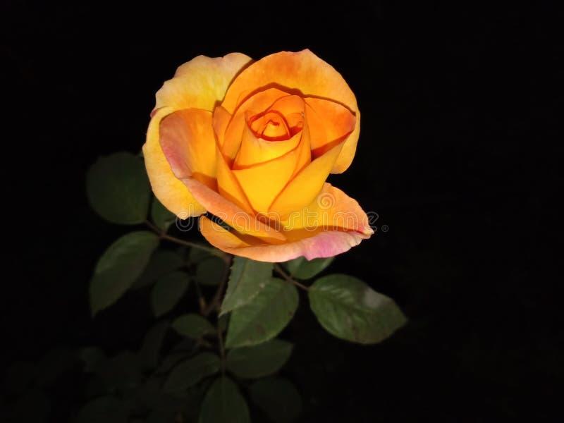 美丽的玫瑰在夜 库存图片