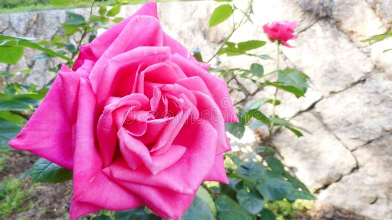 美丽的玫瑰在春天,日本期间的庭院里 库存照片