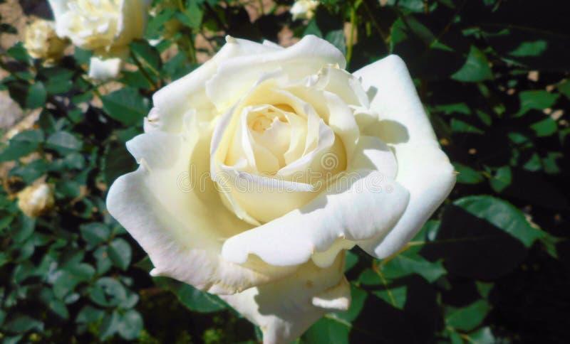 美丽的玫瑰在春天,日本期间的庭院里 库存图片