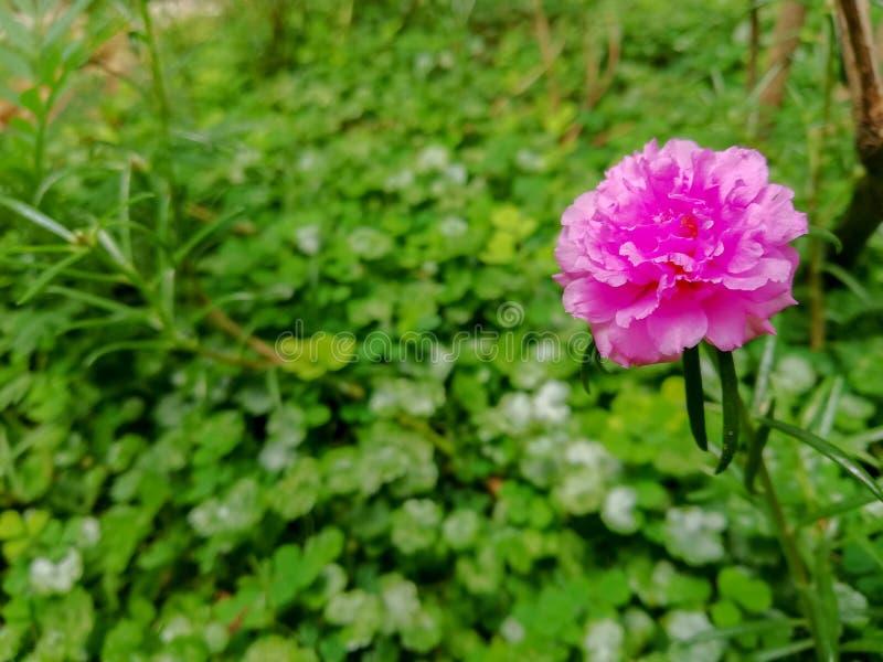 美丽的玫瑰色的花 免版税图库摄影