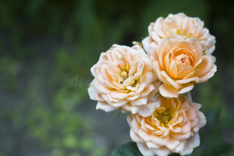 美丽的玫瑰色花是淡色在有露滴的夏天庭院里 选择聚焦 免版税库存照片