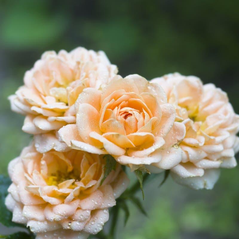 美丽的玫瑰色花是淡色在有露滴的夏天庭院里 选择聚焦 库存照片