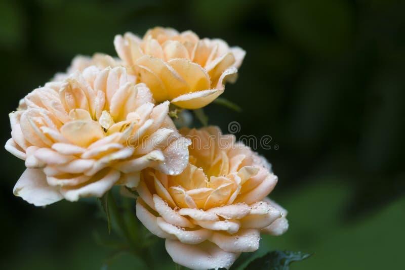 美丽的玫瑰色花是淡色在有露滴的夏天庭院里 选择聚焦 免版税图库摄影