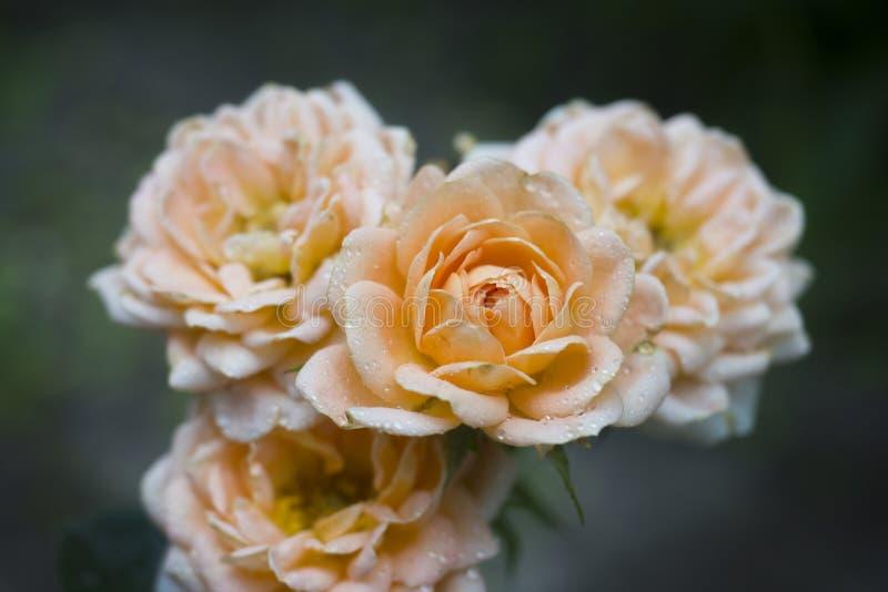 美丽的玫瑰色花是淡色在有露滴的夏天庭院里 选择聚焦 图库摄影