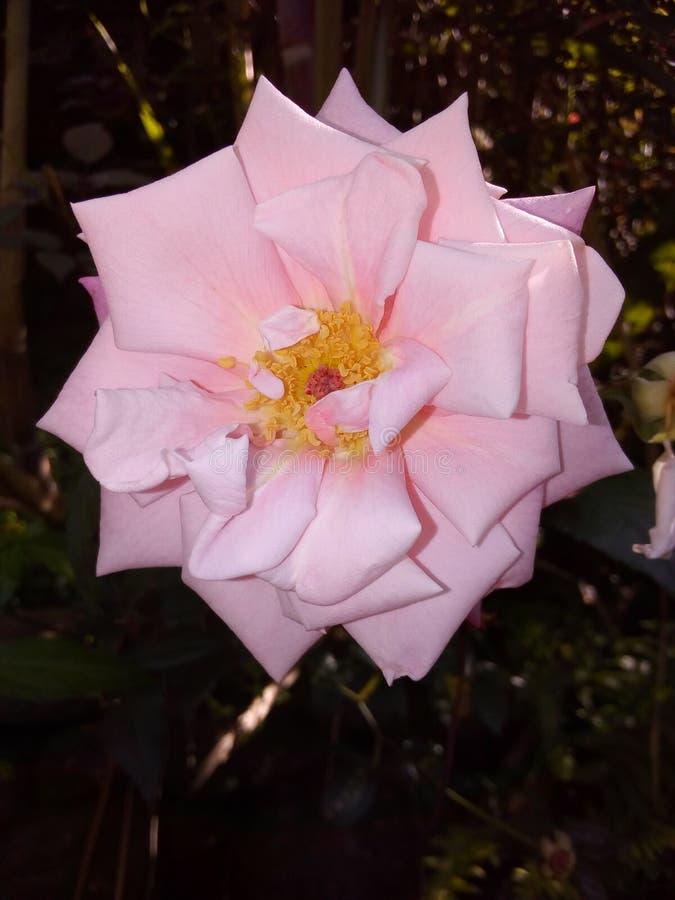 美丽的玫瑰色颜色玫瑰花为愉快的生活 免版税库存图片