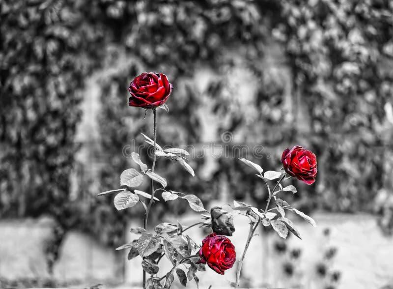 美丽的玫瑰,五颜六色的庭院,秋天庭院,努瓦尔 库存图片