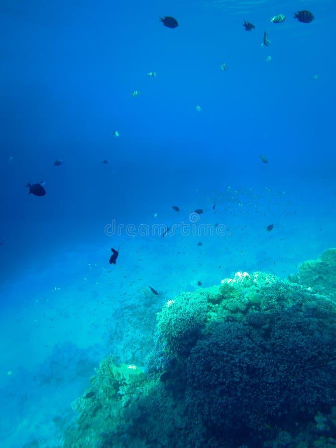 美丽的珊瑚礁和游泳的热带鱼全景水下的照片  免版税库存图片