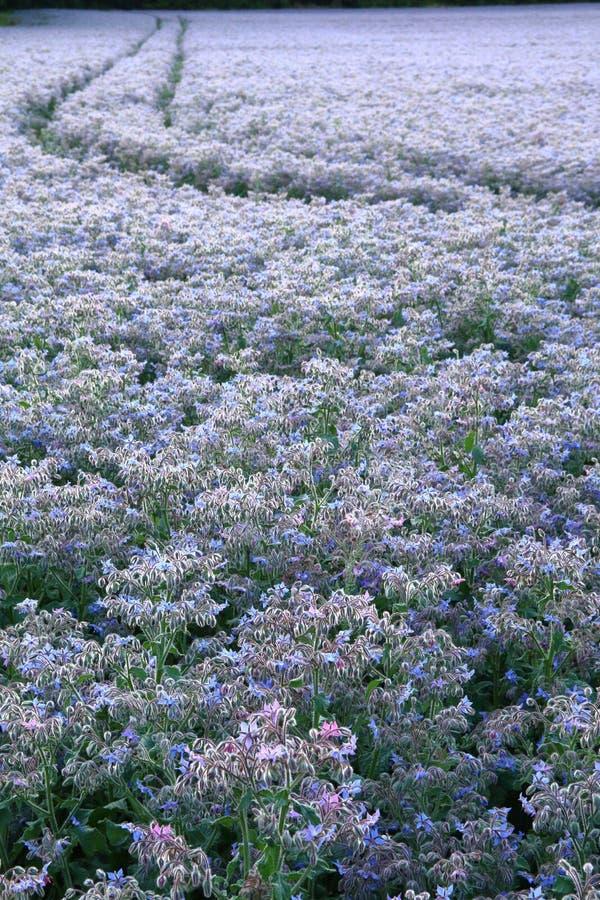 美丽的琉璃苣植物的领域 库存照片