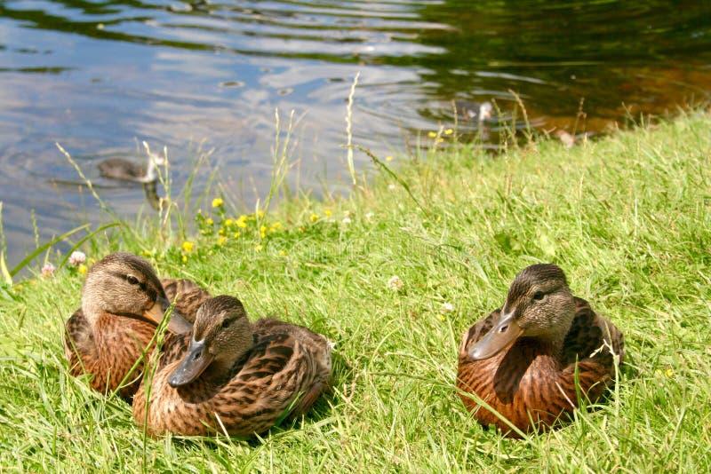 美丽的甜小的鸭子 免版税库存图片