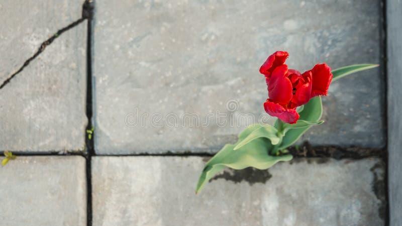 美丽的生长在路面的裂缝的花红色郁金香通过沥青 植物生活力量  免版税库存照片
