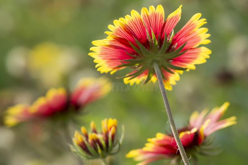 美丽的由后面照的花下面在充分开花的 库存图片