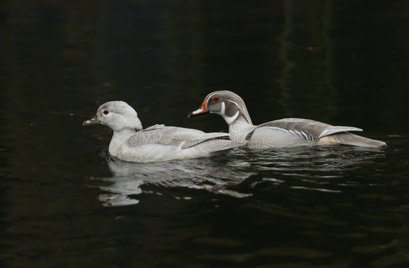 美丽的男性和女性银色卡罗来纳州林鸳鸯游泳在一条快速流动的河 免版税图库摄影
