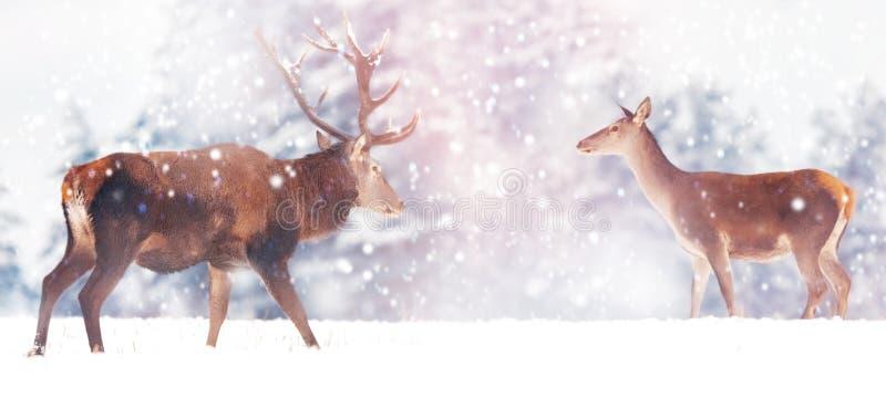 美丽的男性和母鹿在雪白色森林高尚的鹿鹿elaphus 艺术性的圣诞节冬天图象 冬天wo 免版税库存图片