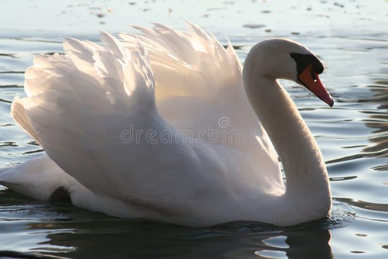 美丽的疣鼻天鹅 免版税库存图片
