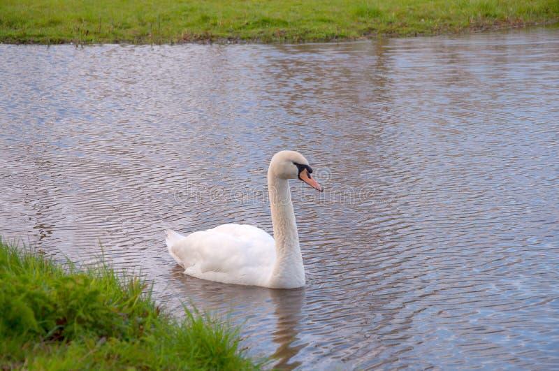 美丽的白天鹅 幽雅的长腿、粗壮的身体和大脚,轻松地游泳 免版税图库摄影