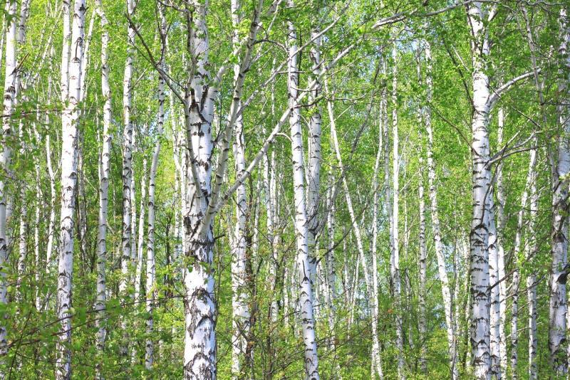 美丽的白桦树在春天在森林里 免版税库存图片