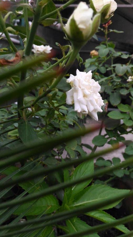 美丽的白玫瑰'罗莎' 库存照片