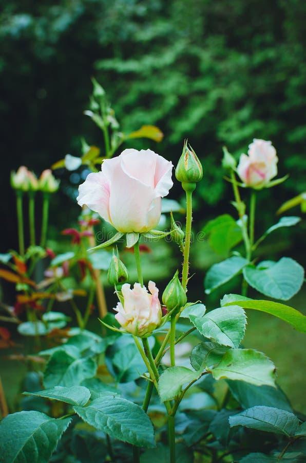 美丽的白玫瑰在城市公园开花 库存图片