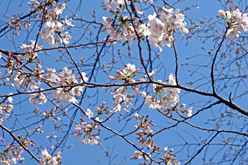 美丽的白色佐仓樱花花在日本公园 库存图片