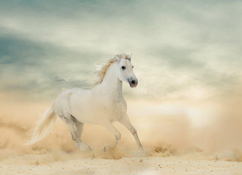 美丽的白色公马 库存照片