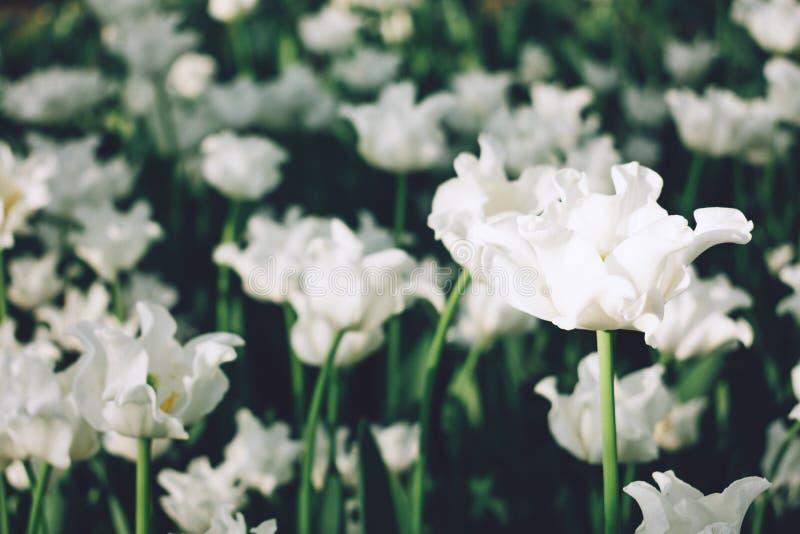 美丽的白色卷曲波浪郁金香花圃特写镜头 白色郁金香在春天庭院,小组花纯净白色与阳光 免版税库存照片