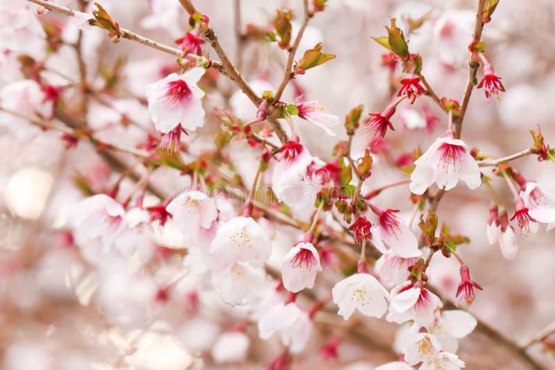美丽的白色和桃红色樱花佐仓花在日本b 免版税库存照片