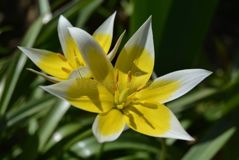美丽的白色和黄色春天花 图库摄影