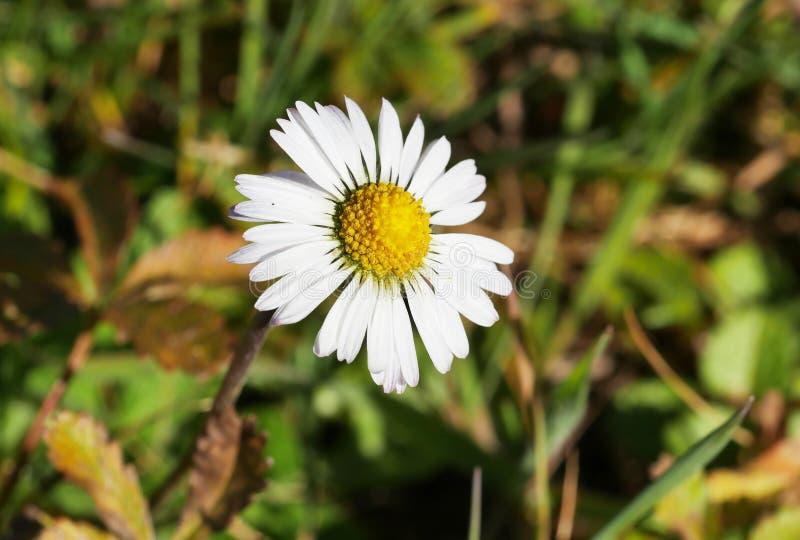 美丽的白色和黄色延命菊 免版税库存照片