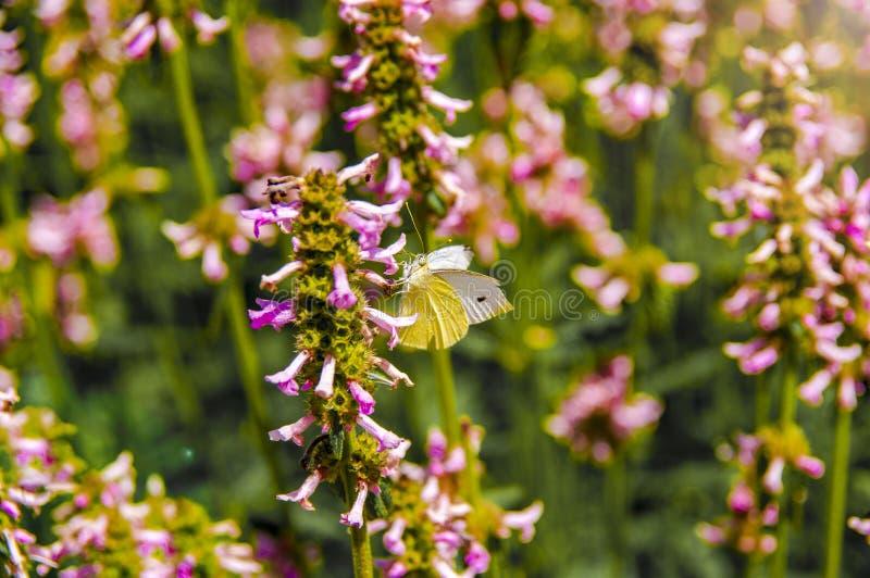 美丽的白色和黄色蝴蝶坐花 图库摄影