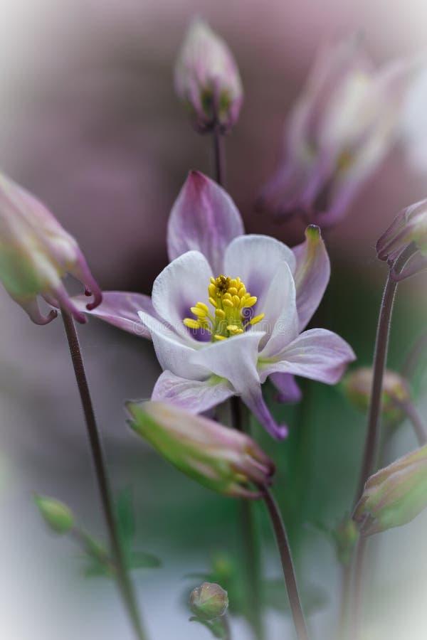 美丽的白色哥伦拜恩在选择聚焦 图库摄影