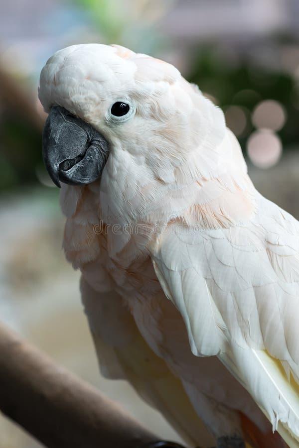 美丽的白色在分支黏附的美冠鹦鹉三文鱼有顶饰鸟 库存图片