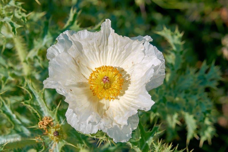 美丽的白色多刺的鸦片Argemone albiflora得克萨斯公牛荨麻被隔绝的宏指令  ?? 库存图片