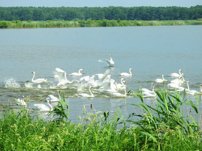 美丽的白色天鹅在小湖,立陶宛 库存图片