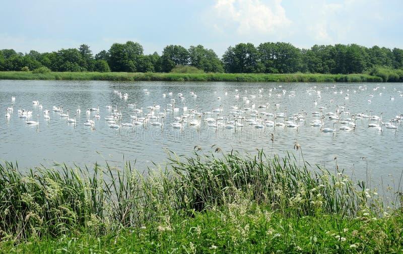 美丽的白色天鹅在小湖,立陶宛 免版税图库摄影
