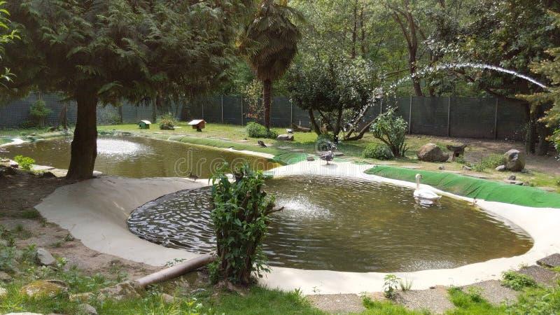 美丽的白色天鹅在池塘 免版税库存图片