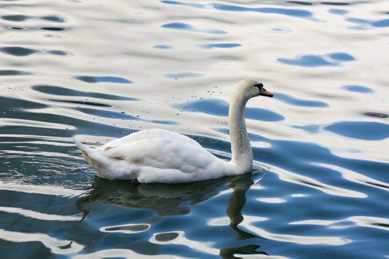 美丽的白色天鹅在流血的湖游泳 免版税图库摄影