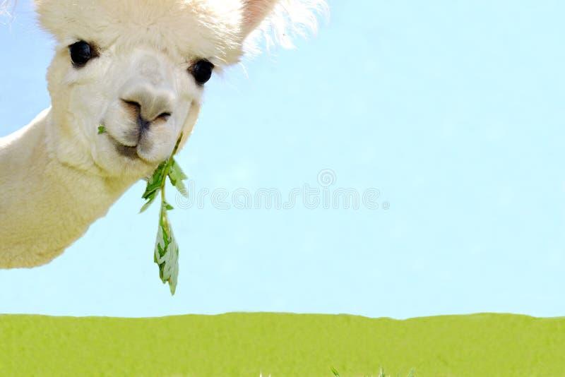 美丽的白色好奇羊魄画象  免版税库存照片