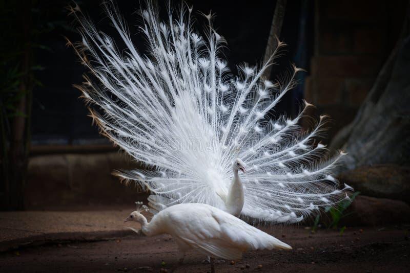 美丽的白色孔雀在孔雀农场打开了展示尾巴 库存照片
