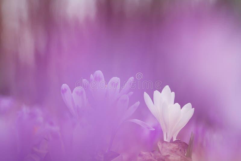 美丽的白色春天花番红花在生长紫色的背景中狂放 野花惊人的秀丽本质上 免版税库存图片