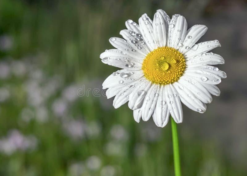 美丽的白色春黄菊有软的自然本底 免版税库存照片