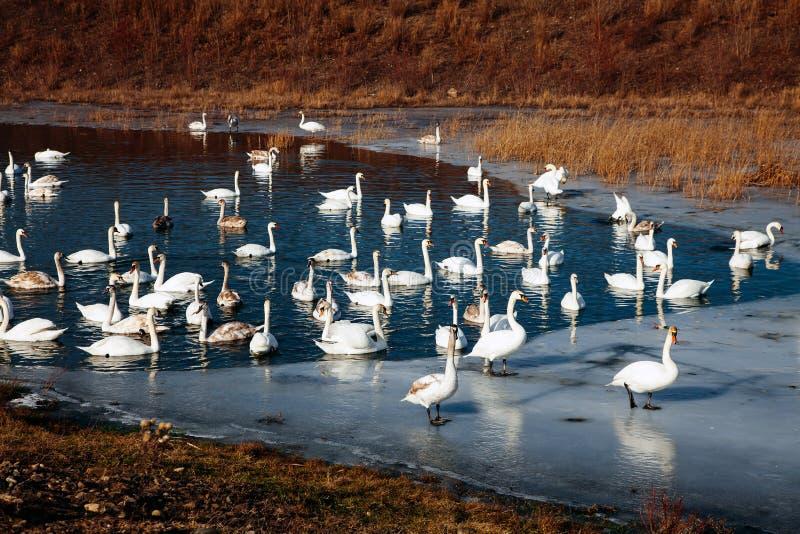 美丽的白色柔和天鹅家庭湖言情季节性明信片有选择性的大海天华伦泰自然爱冬天冰 免版税库存图片