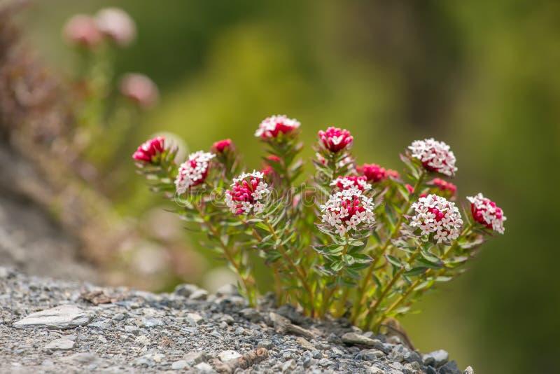 美丽的白色红色花在尼泊尔 免版税图库摄影