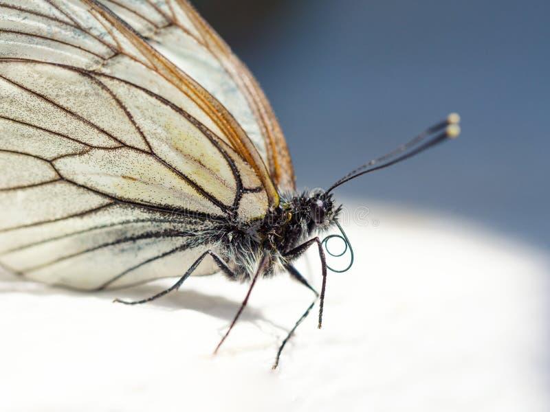 美丽的白色蝴蝶宏观portret 免版税库存照片