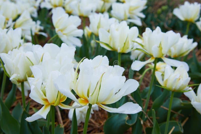 美丽的白色郁金香花圃特写镜头 E 免版税库存图片
