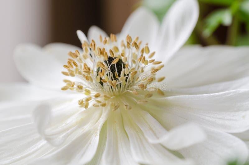 美丽的白色银莲花属,关闭,宏指令,春天开花 免版税库存照片