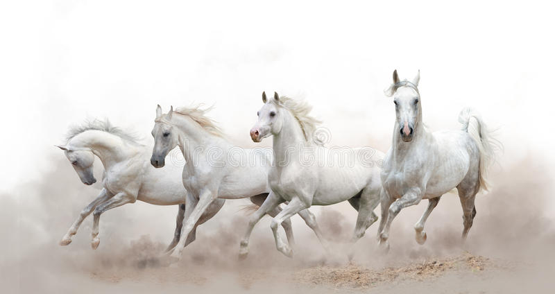美丽的白色阿拉伯马 库存照片