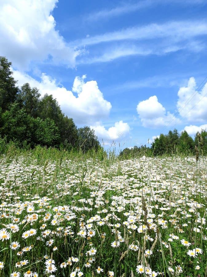 美丽的白花、树和多云天空,立陶宛 库存照片