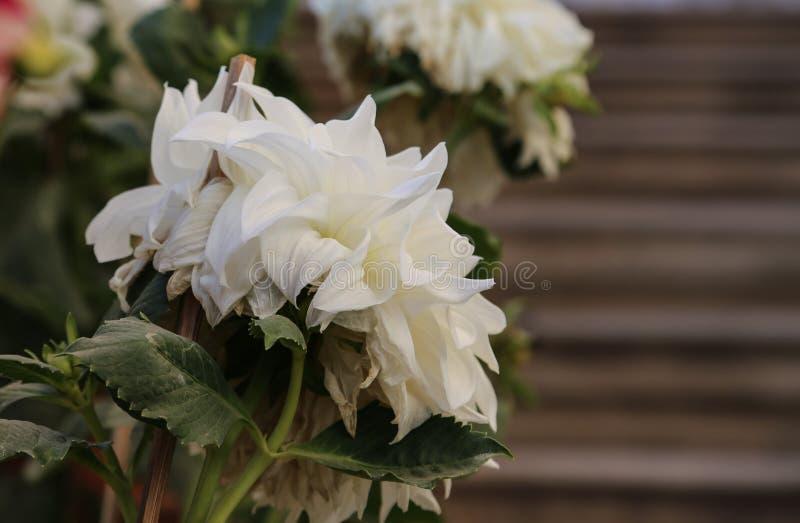 美丽的白花在庭院里 免版税库存图片